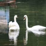 Волонтеры «Единой России» нашли пару для одинокого лебедя Дуси из парка «Сокольники»